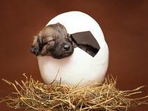 Gullig valp som sover i ägget Arkivbild