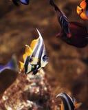 Gullig vibrerande triangelformakvariefisk Royaltyfri Foto