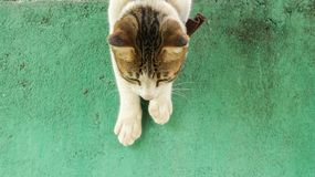 Gullig vit Cat Climbing Down Vintage Green vägg royaltyfria bilder
