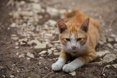 Gullig vit för kattkattungeapelsin royaltyfria foton