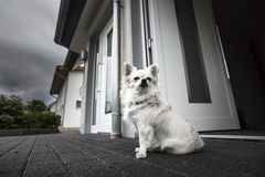 Gullig vit hund Arkivbilder
