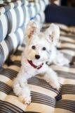 Gullig vit hund på soffan, närbild royaltyfri fotografi
