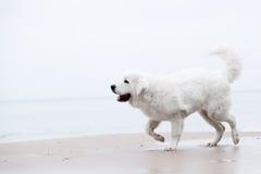 Gullig vit hund som går på stranden fotografering för bildbyråer