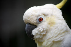Gullig vit kakaduanärbild Närbildstående av en cockatoi Royaltyfri Bild