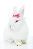Gullig vit kanin med rosa färgpilbågen Royaltyfria Bilder