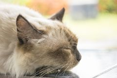 Gullig vit kattsömn royaltyfri fotografi