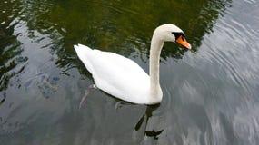 Gullig vit svan Arkivfoton