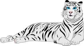 Gullig vit tiger på den vita bakgrunden Royaltyfri Fotografi