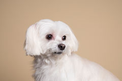 Gullig vit valp som poserar i studion - maltesisk hund Royaltyfri Bild