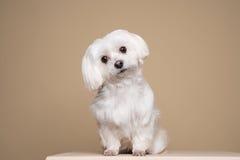 Gullig vit valp som poserar i studion - maltesisk hund Royaltyfria Bilder