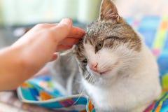 Gullig vuxen katt royaltyfria foton
