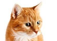 Gullig vuxen röd katt som isoleras på vit bakgrund royaltyfri bild