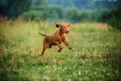 Gullig vyzhla för valpar, röd hund som kör i höstfältet royaltyfria bilder