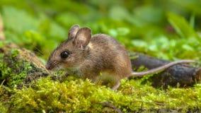 Gullig Wood mus som går på skoggolv royaltyfri foto