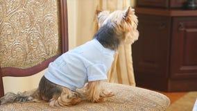 Gullig yorkshire terrier på stolen lager videofilmer
