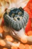 Gullig Yorkshire Terrier valp i handog dess ägare Royaltyfria Bilder