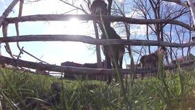 Gulliga åsnor på den fäktade jordbruksmarken betar nära kameran arkivfilmer