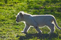 Gulliga afrikanska vita lejongr?ng?lingar i nosh?rning- och lejonnaturreserv i Sydafrika royaltyfri foto