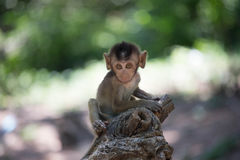 Gulliga apor fotografering för bildbyråer