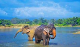 Gulliga asiatiska elefanter som blåser vatten ut ur hans stam i Chitwan N P arkivfoto