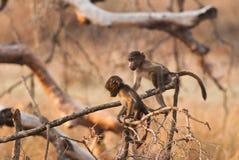 Gulliga babianer Arkivbilder
