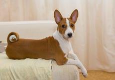 Gulliga Basenji valpen som den har, vilar på en sofa. Arkivfoton