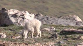 Gulliga bergsfårungar lager videofilmer
