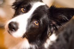 Gulliga Border collie arkivfoton