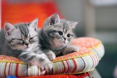 Gulliga brittiska Shorthair kattungar Arkivbild