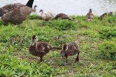 Gulliga bruna ankungar som går i gräset Royaltyfria Bilder