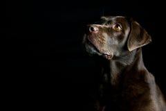 Gulliga bruna labrador som ser upp Fotografering för Bildbyråer