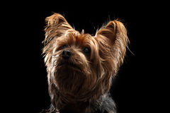 Gulliga bruna Yorkie silkeslena Mutt Looking Up Arkivfoton