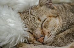 Gulliga Cat Sleeping Cat Royaltyfria Bilder