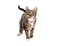 Gulliga Cat Sticking Tongue Out Royaltyfri Foto