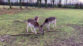 Gulliga deers i skogen arkivfilmer