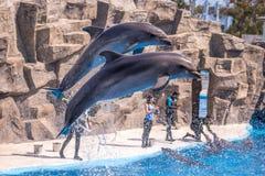 Gulliga delfin under ett anförande på delfinariet, Batumi, Geo Royaltyfri Fotografi