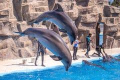 Gulliga delfin under ett anförande på delfinariet, Batumi, Geo Royaltyfri Foto