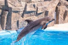 Gulliga delfin under ett anförande på delfinariet, Batumi, Geo Arkivbilder