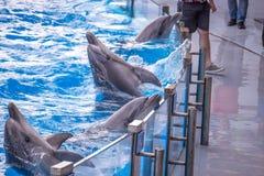 Gulliga delfin under ett anförande på delfinariet, Batumi, Geo Arkivbild