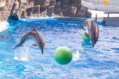 Gulliga delfin under ett anförande på delfinariet, Batumi, Geo Arkivfoton