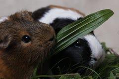 Gulliga försökskaniner med ett grönt blad royaltyfri foto