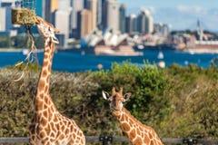 Gulliga giraff på den Taronga zoo med sikter av Sydney Harbour Arkivbild