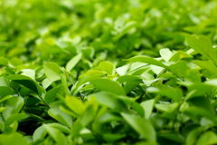 Gulliga gröna blad i grön backround Royaltyfri Foto
