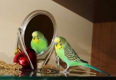 Gulliga gröna Budgie som ser i spegeln Royaltyfri Foto