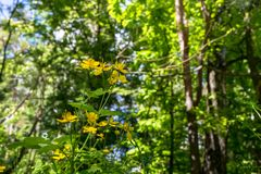 Gulliga gula blommor av den medicinska örtcelandine- eller Chelidoniummajusen på en solig skogglänta i Moskvaförorter Royaltyfri Foto
