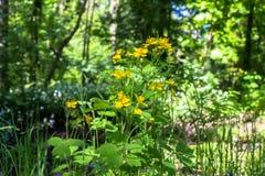 Gulliga gula blommor av den medicinska örtcelandine- eller Chelidoniummajusen på en solig skogglänta i Moskvaförorter Arkivfoton
