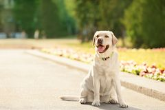 Gulliga gula labrador retriever utomhus fotografering för bildbyråer