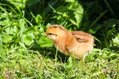 gulliga hönor som kläckas nytt Vårfågelungar Royaltyfri Fotografi
