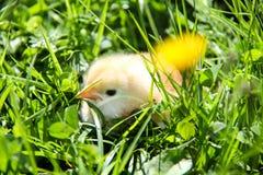 gulliga hönor som kläckas nytt Vårfågelungar Royaltyfria Bilder