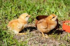 gulliga hönor som kläckas nytt Vårfågelungar Royaltyfri Bild